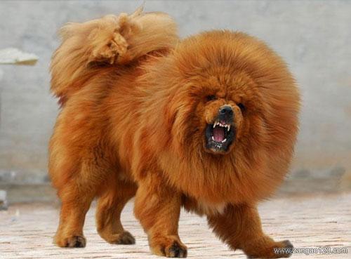 チベタン・マスティフ犬