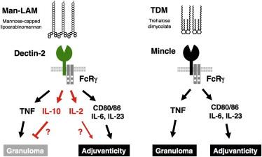 タンパク質に結核菌の侵入防御解明